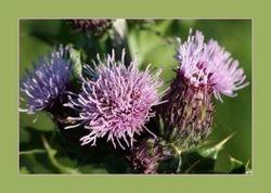 Kruldistel - Carduus crispus