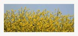 Koolzaad - Brassica napus