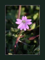 Kleine Ooievaarsbek - Geranium pusillum