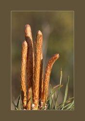 Den - Pinus sylvestris