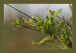Watercypres - Metasequoia glyptostroboides