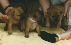 Pups van Gent