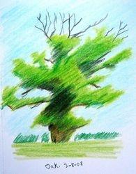 Oak tree (august 2008)