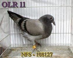 NFS11-108127 - BB - Bred by Raffy Mangundayao (June 26,2011)