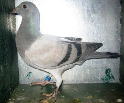 PH-OLR11 - 110933 - BB - Bred by Alfred Quitay & CAE - Submitted on May 28, 2011