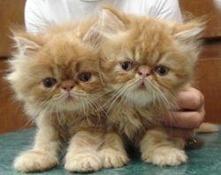 Perisan Kittens