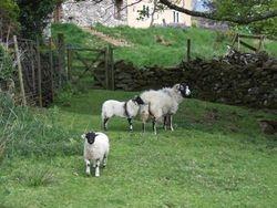 Little sheepies