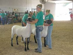 Supreme Champion at Fayette Co. Fair and Champion ewe at the Iowa State Fair