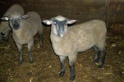Some Fall lambs