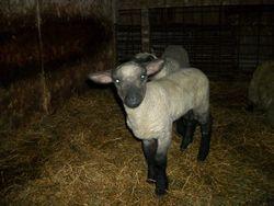 2013 Lamb crop--Couple of lambs that I like.