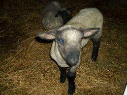 2013 lamb crop