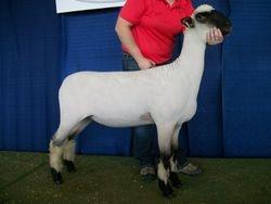 1st February ewe lamb at the Iowa State Fair.