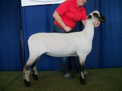 1st March Ewe Lamb at the Iowa State Fair.
