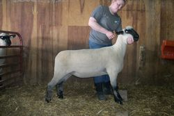 2014 Fall Ewe Lamb