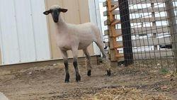 Red 26, yearling ewe that still has her lambs teeth as of 4/17/16!