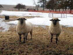 Rueber Shrops Yearling ewes
