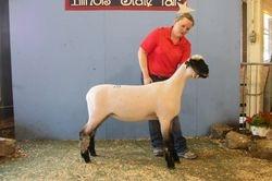 2014 Fall ewe lamb Rueber White 7