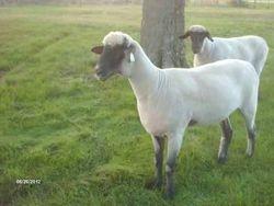 Pair of yearling ewes.