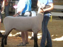 Hoffman yearling ewe