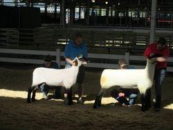 Fall ewe lambs at the Iowa State Fair
