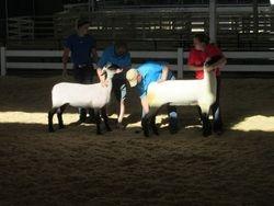 Fall ewe lambs at the Iowa State Fair.