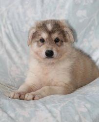 Kane - Northern Inuit Puppy