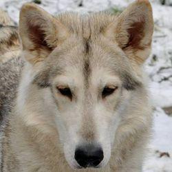 Luna - Northern Inuit