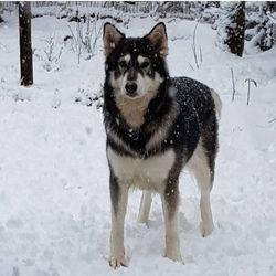 Sansa the Northern Inuit