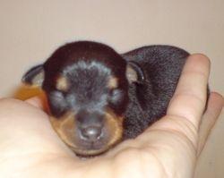 Puppies 1 week old