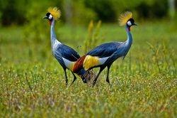 Grey-crested Cranes