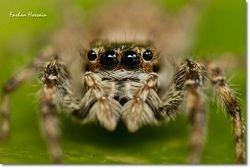 Female Menemerus Bivittatus