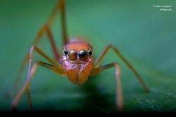 Female Myrmarachne Plataleoides aka Kerengga Ant-like Jumper