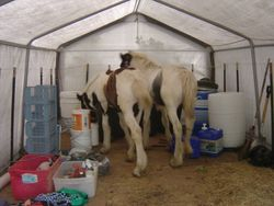 Drum Stallions Joey and Endy in the storage barn