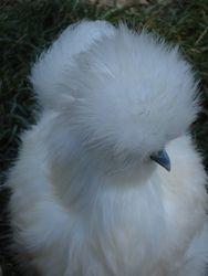 Looks like snow ball with a beak