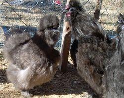 2010 B/B/S Breeding program