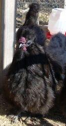 Black Roo