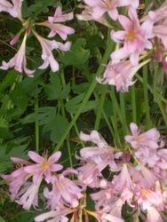 Suprise Lilies