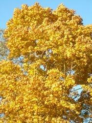 Tree in Autumn yellow