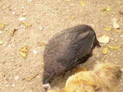 Oddly colored Guinea hen