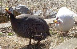 Pearl & White Guinea hens