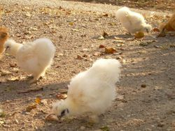 White pullets