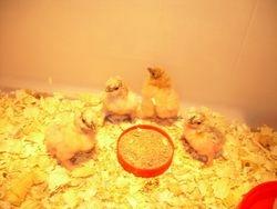 Thanksgiving Day Chicks