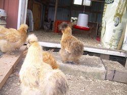 Hens around the house
