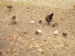 Chicks from Indigo Egg