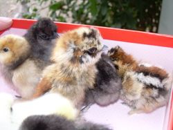 New chicks from Indigo Egg