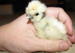 Heterozygous Showgirl Chick