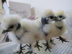 Trio of chicks