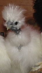 Young pullet