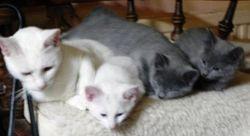 Champion Catwo Biaty Pantera and kittens