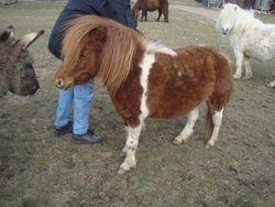 Lollipop AMHR registered 2005 mare
